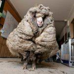 Znalazła się zagubiona owca