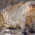 Czy mangusty mogą być zwierzętami domowymi?