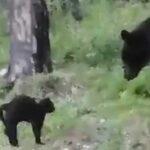 Kot przegonił niedźwiedzia brunatnego